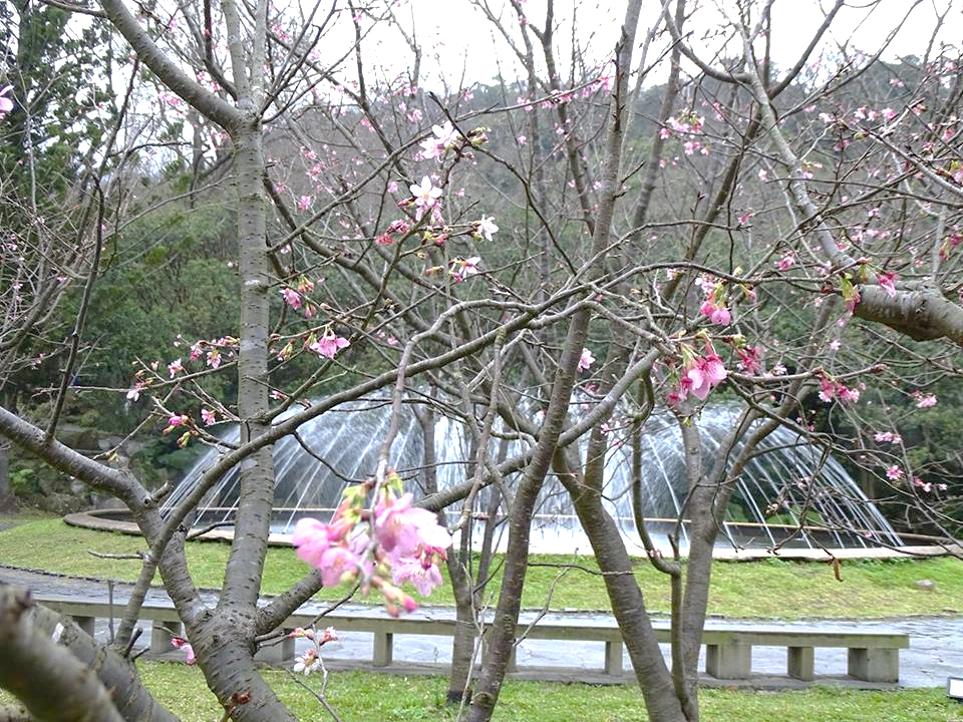 2.陽明山花鐘噴水池 昭和櫻