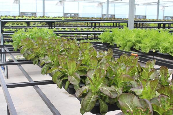 Vegetables at Cultiveat urban farm